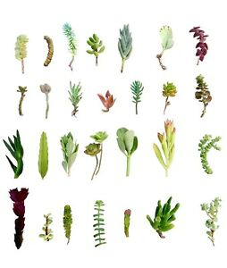 28-Assorted-Succulent-Cuttings-28-Varieties-2-034-7-034-Organic-Succulents-Free-Ship