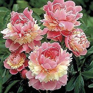 Pink White Fragrant Peony Bulbs Bonsai