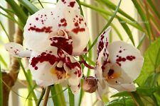 20 Pink W/ Purple Spot Phalaenopsis Moth Orchid Seed Organic NON GMO Home Grown