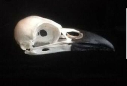 1 Real carrion  crow skull Wicca goth  pagan Curo taxidermy bird