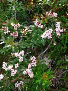 Rare Tasmanian Snow Berry Gaultheria Hispida   20 seeds  UK SELLER