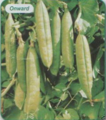 PEAS  ONWARD AP 1100 SEED MAIN CROP £3.90 FREEPOST