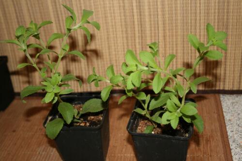 Stevia Pflanze Honigblatt Stevia Rebaudiana 25cm Busch Süßkraut