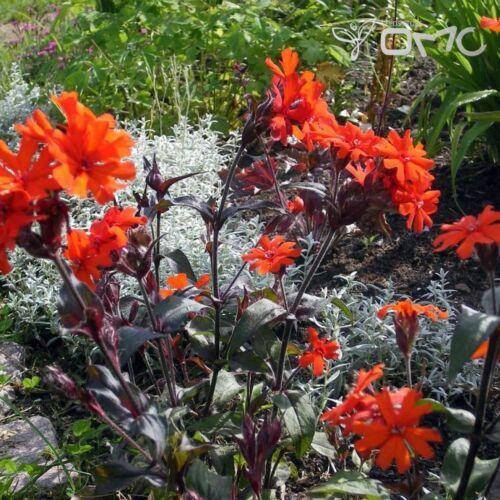 Lychnis x haageana Molten Lava #1516 50 seeds ORANGE CAMPION