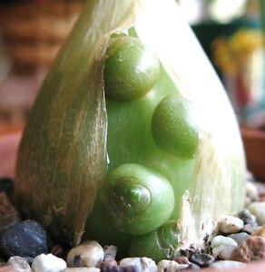 Pregnant Onion Ornithogalum Caudatum Rare Succulent Bulb False Sea Seed 15 Seeds Ebay