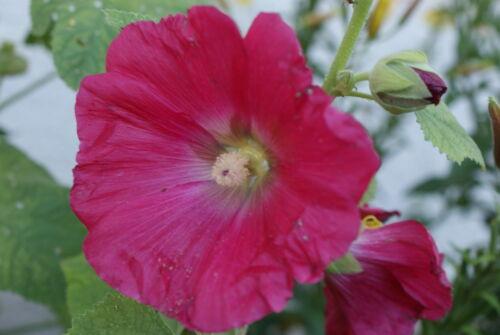 Stockrose bunte Mischung 30 Samen
