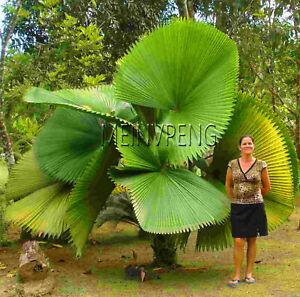 Chinese-Fan-Palm-Seeds-Plants-Bonsai-Ornamental-Livistona-Chinensis-Tall-10pcs