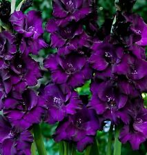 10 Deep Purple Flowers Gladiolus Large Flower Bulbs Perennial Outside Plant
