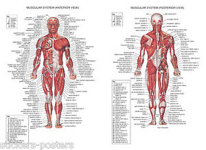 human muscular system a1 a2 a3 a4 science education human anatomy, Muscles