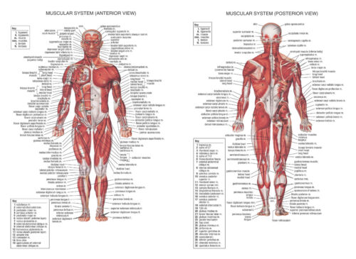 HUMAN MUSCULAR SYSTEM A1 A2 A3 A4 SCIENCE EDUCATION HUMAN ANATOMY MUSCLE BICEPS