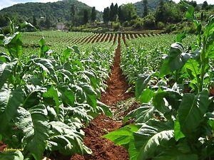 5000-Graines-de-tabac-BIO-tobacco-039-Nicotiana-tabacum-039-Virginia-Gold-seeds