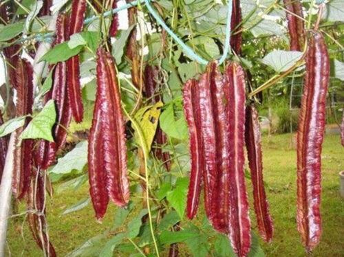 purple winged bean seeds PSOPHOCARPUS TETRAGONOLOBUS goa bean princess bean,