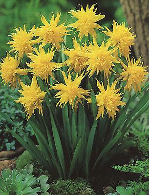 10 o. 50 gefüllte Narzissenzwiebeln Rip van Winkle Blumenzwiebeln