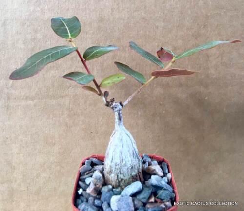 """PHYLLANTHUS MIRABILIS plant flower exotic rare caudex bonsai Caudiciform 2/"""" pot"""