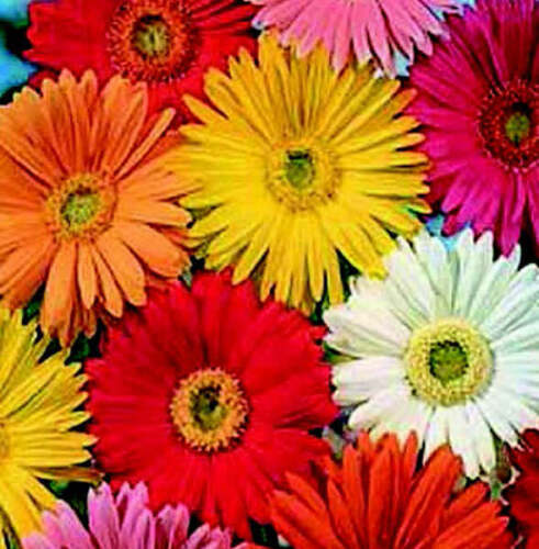 10 aka AFRICAN DAISY PERENNIAL GERBERA CALIFORNIA GIANTS MIX FLOWER SEEDS
