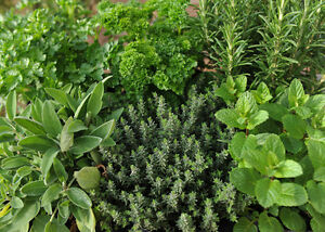 8-MIXED-HERB-PLUG-PLANTS-FOR-7-99-POSTAGE-INCLUDED