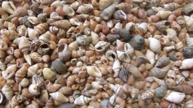 100 Seashells Scrapbook Craft Miniature Shell Wedding Mix Sailors Valentine