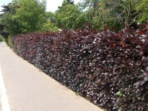 8-sizes-Purple-Beech-hedge-plants-semi-evergreen-hedging-in-10-150-plant-packs