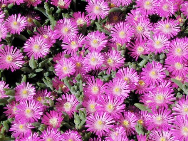 ICE PLANT (Delosperma aberdeenense) 20 seeds