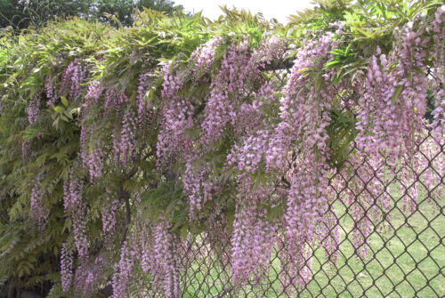 5 Pink Chinese Wisteria Seeds Vine Climbing Flower Perennial Rare Tropical Red