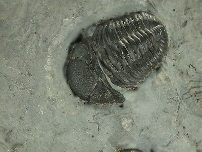 Fossil Trilobite Phacops rana (EA3235) Devonian. Hamilton Shale New York, USA
