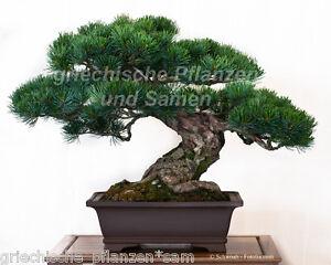 PINUS-THUNBERGII-Pinie-Bonsai-5-Samen-Nadelgehoelz-Nadelbaum