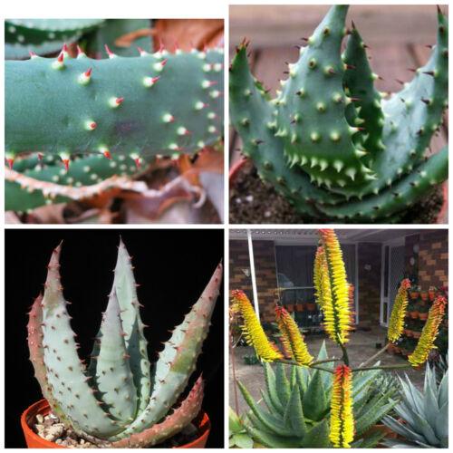 cacti succulents 50 seeds of Aloe aculeata succulents seed R
