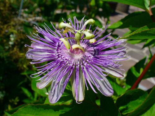 Passionsblume 13-30 Samen  Passiflora incarnata Maypop