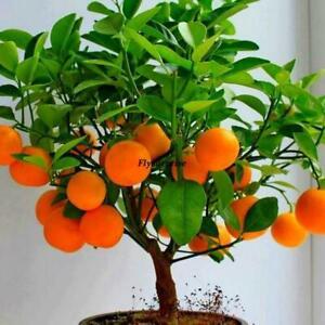 20 Semillas Bonsai Citrus Actinidia Deliciosa Mixed Fruit Seeds Indoor Dfjmxmvg-10042409-118025324