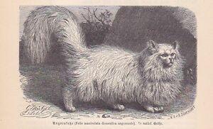 Angorakatze-Felis-maniculata-angorensis-Holzstich-von-1891-Katzen-Katze