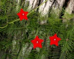 IPOMOEA-Quamoclit-seltene-ROTE-red-schoener-Sichtschutz-10-Samen-10-seeds