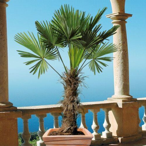 Trachycarpus fortunei Hanfpalme winterhart bis -18 Grad 90-115 cm Palme XL ca
