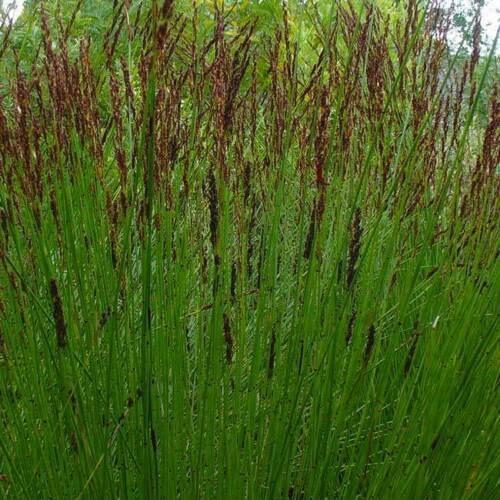 20 graines-South African RESTIO Elegia Tectorum bambou//HERBE