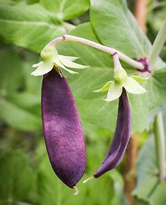 Snow-Pea-Shiraz-Deep-Burgundy-Purple-Pods-Nice-amp-Crunchy-50-Seeds