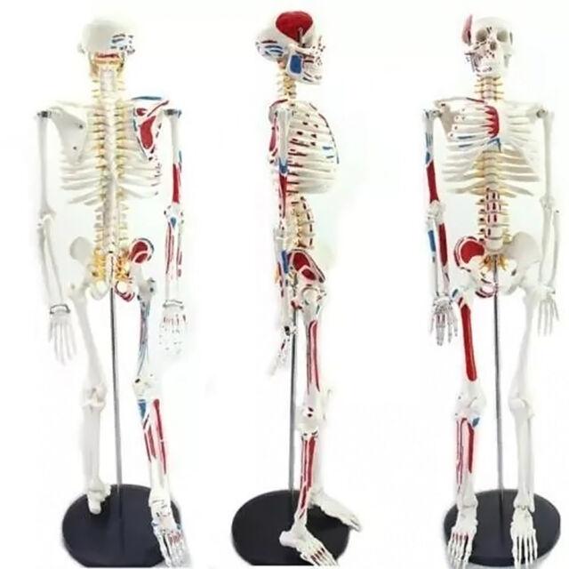 4d Puzzle 85cm Human Skeleton Model Medical Simulation Human Anatomy