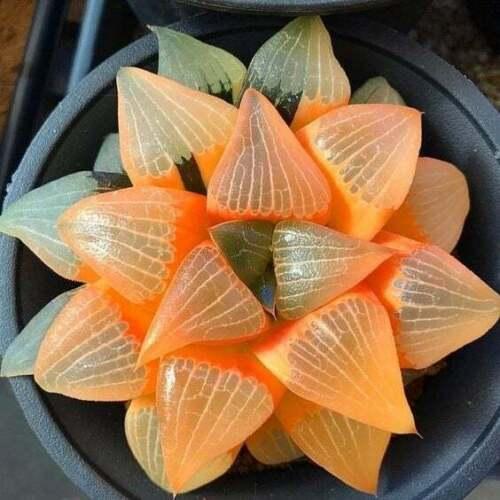 USA SELLER 25 Cactus Seeds Succulent ORANGE Bonsai