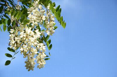 Gleditsia Triacanthos Inermis 5 Seeds Thornless Honey Locust Shade Tree Seeds