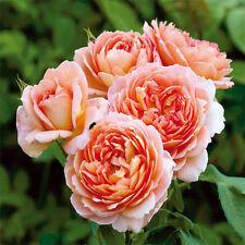 Rare 'Carding Mill' Orange Rose Shrub 50 Seeds Bloom Summer to Fall Much Flower
