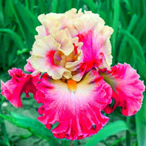 2 Iris Bulbs Perennial Tall Bearded Resistant Reblooming Plants Flower Balcony