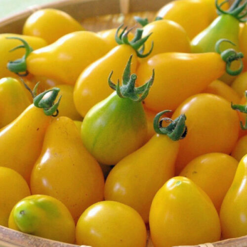 TOMATO Yellow Pear Heirloom Seeds V 295