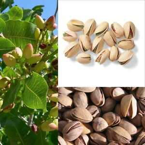 5Pcs-Nut-tree-Pistachios-Seeds-Pistacia-Rare-Viable-Nut-Tree-Seeds-Big-Harvest