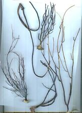 #3 All Natural Florida Black Coral - Jewelry & Art