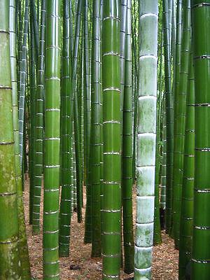 Lots 100pcs Seeds Phyllostachys pubescens moso-Bambou Graines plantes de jardin géant