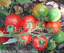 CHADWICKS CHERRY * Cocktail Tomate * Tomaten * 10 Samen