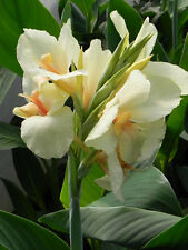 CANNA LILY SEEDS - ERMINE - TROPICAL HOUSE PLANT - WHITE FLOWERS - 4 Seeds