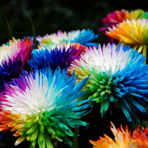 10PCS RAINBOW CHRYSANTHEMUM FLOWER SEEDS BALCONY GARDEN BONSAI PLANTING NICE