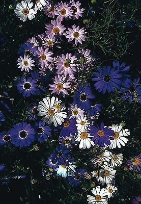Flower - Brachycome - Iberidifolia Mixed - 5000 Seeds