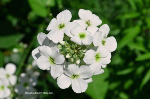 Nuit vivere Blanc Floraison Hesperis Matronalis FLEUR 100 graines quantités remise!!!