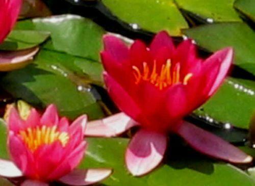 inverno duro Seerose seerosen stagno pianta laghetto piante Nymphaea /'froebeli/'
