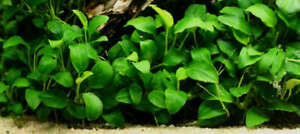 BUY-2-GET-1-FREE-Anubias-Nana-Narrow-Leaf-Live-Fish-Tank-Aquarium-Plants